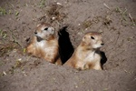 Black-tailed Prairie Dog (Cynomys ludovicianus)
